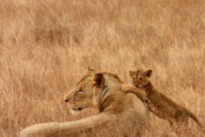 ライオンの子殺し