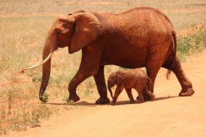 アフリカゾウ救助