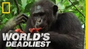 チンパンジー アカコロブス
