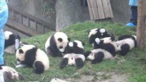 ジャイアントパンダ