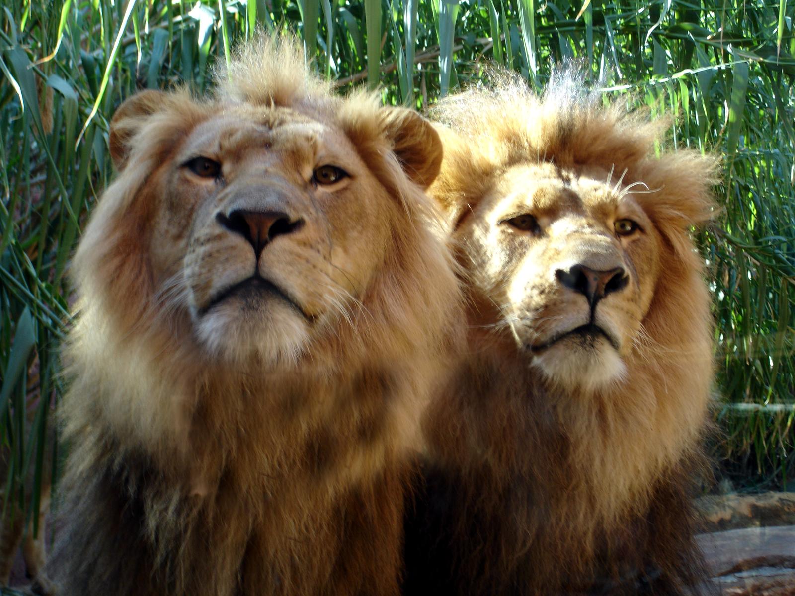 ライオンの画像 p1_17