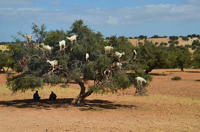 モロッコ ヤギ