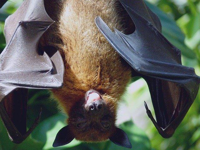bat_biggest