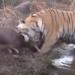 【捕食】最強の虎!ベンガルトラの強さがわかる狩りの動画集