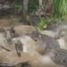 【捕食】イボイノシシが巨大ワニの餌食に!クロコダイルの驚愕の狩り動画