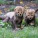 チーターの母親が身を挺して我が子をライオンから守る動画