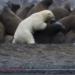 【捕食】飢えたホッキョクグマがセイウチの集団を襲撃する動画